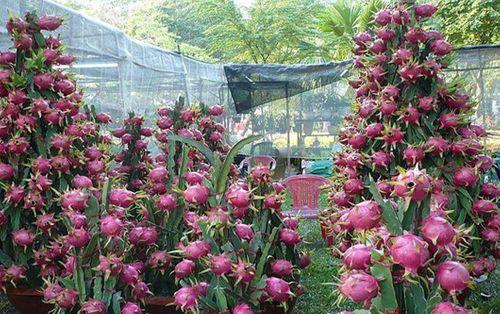 Những trái cây cực độc trong ngày tết của Việt Nam - Ảnh 5
