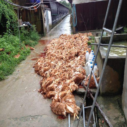 Bi hài chuyện 5.400 con gà chết vì điện ở Hải Dương - Ảnh 1