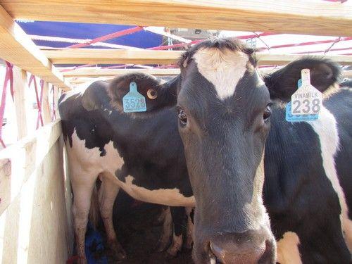 Vinamilk tiếp tục nhập bò sữa cao sản từ Úc về Việt Nam - Ảnh 9