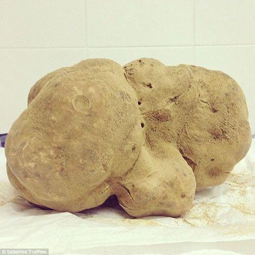 Mỹ: Cây nấm cục trắng khổng lồ được bán với giá 1,3 tỷ đồng - Ảnh 1