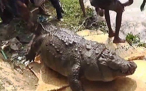 Cá sấu 100 tuổi chết vì béo phì - Ảnh 1