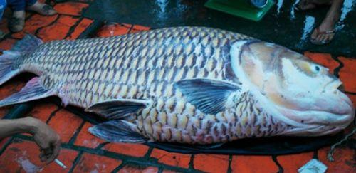 Vĩnh Long: Bắt được cá hô vàng nặng 130kg - Ảnh 1