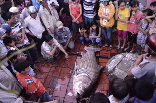 Vĩnh Long: Bắt được cá hô vàng nặng 130kg - Ảnh 2