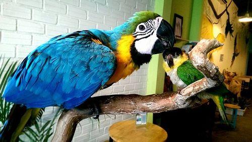 Đại gia Việt rộ thú chơi vẹt Nam Mỹ, chim quý tộc chục nghìn USD - Ảnh 1