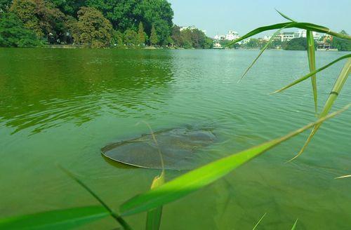 Rùa Hồ Gươm nổi lên phơi nắng trước thềm năm mới - Ảnh 4