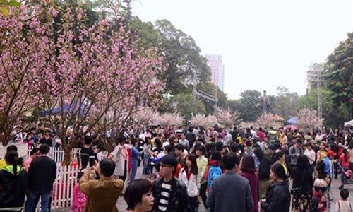 Hà Nội sẽ trồng hơn 4000 cây hoa anh đào ở các công viên - Ảnh 1