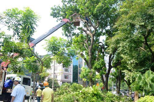 Hà Nội dịch chuyển 106 cây xanh để thi công đường sắt đô thị - Ảnh 1