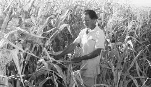 Nông dân đầu tư trăm triệu trồng ngô đau đớn vì chủ mua phá cam kết  - Ảnh 1