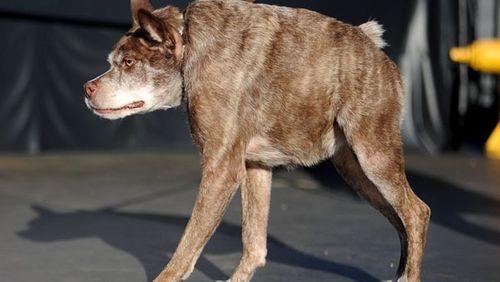 Lai lịch xúc động của chú chó vừa giành giải... xấu nhất thế giới - Ảnh 1