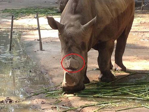 Sừng tê giác bị vạt: Công ty quản lý đổ tại... gốc cây - Ảnh 1
