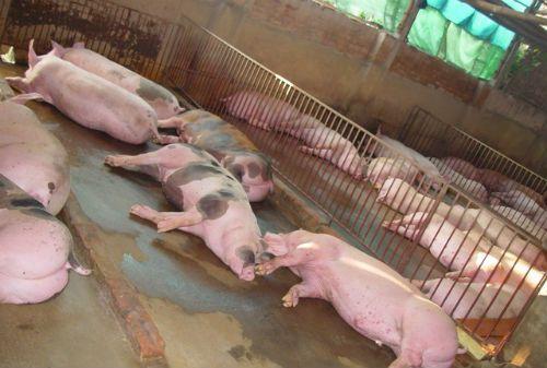 """Kinh ngạc loại """"thuốc"""" vỗ lợn mỗi tháng tăng 30-40kg - Ảnh 2"""