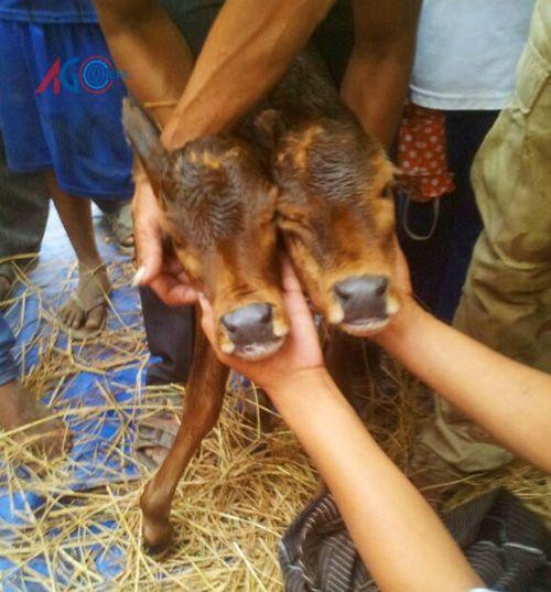 Kỳ lạ bê mới sinh có 2 đầu cùng nằm trên 1 cổ - Ảnh 2