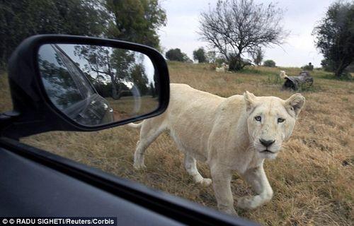 Sư tử trong công viên nhảy vào ô tô cắn chết nữ du khách - Ảnh 1