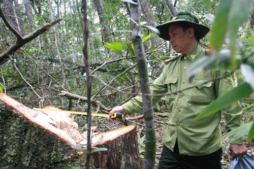 Vụ phá rừng pơ mu: Quảng Nam báo cáo Thủ tướng Chính phủ - Ảnh 1