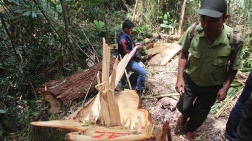 Vụ phá rừng pơ mu ở Quảng Nam: Phía Lào sẽ khởi tố - Ảnh 1