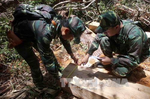 Vụ phá rừng pơ mu ở Quảng Nam: Lập đoàn kiểm tra các cá nhân, tổ chức vi phạm - Ảnh 1