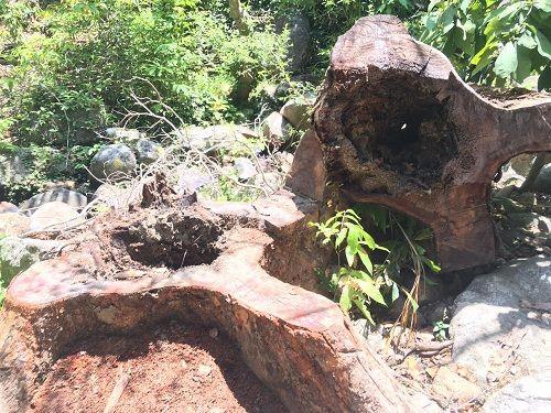 Đà Nẵng: Thông tin mới nhất vụ khai thác gỗ trái phép ở rừng Sơn Trà - Ảnh 5