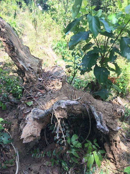 Đà Nẵng: Thông tin mới nhất vụ khai thác gỗ trái phép ở rừng Sơn Trà - Ảnh 1