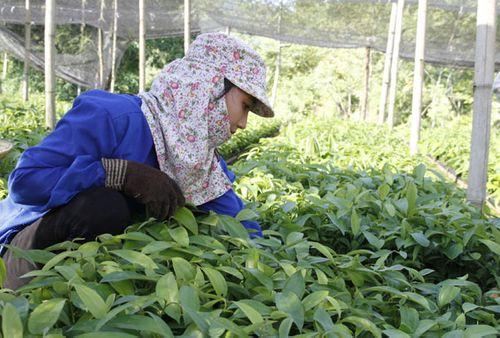 Lào Cai sắp xếp, đổi mới các công ty nông, lâm nghiệp - Ảnh 1