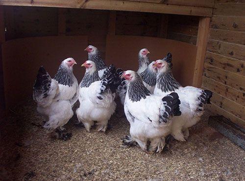 Giống gà khổng lồ nặng 20kg, giá 30 triệu đồng/cặp có gì đặc biệt? - Ảnh 5