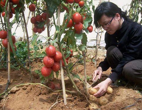 Giống khoai tây không ra củ mà.. ra quả nặng đến 4kg - Ảnh 5
