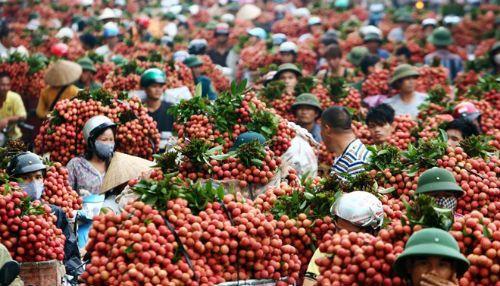Tiêu thụ vải thiều: Siêu thị nhập cuộc, đẩy mạnh xuất khẩu - Ảnh 1