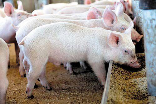 Thịt lợn dùng chất cấm: Chính người Việt đầu độc người Việt - Ảnh 1