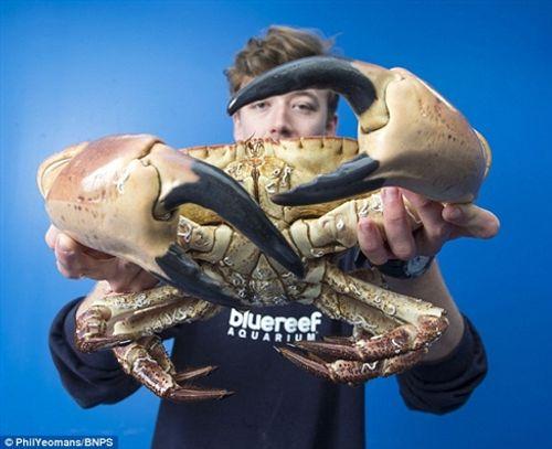 Bắt được cua biển có càng khổng lồ, to như cánh tay người - Ảnh 2
