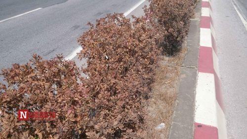Hà Nội: Lại thêm hàng loạt cây xanh chết khô trên cầu Thanh Trì - Ảnh 1