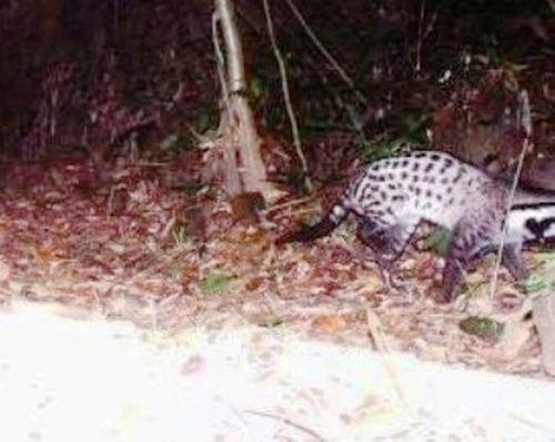 Phát hiện loài cầy bị coi tuyệt chủng ở Huế - Ảnh 1