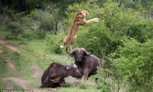 Trâu Cape trả thù hạ gục sư tử trong chớp mắt - Ảnh 1