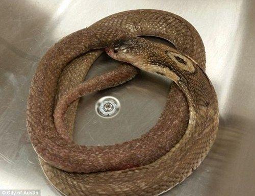 Một thanh niên tử vong vì mặc kệ rắn hổ mang cắn - Ảnh 2