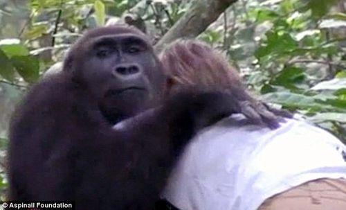 Cuộc hội ngộ xúc động của cô chủ nhỏ và chú khỉ đột sau 12 năm xa cách - Ảnh 4
