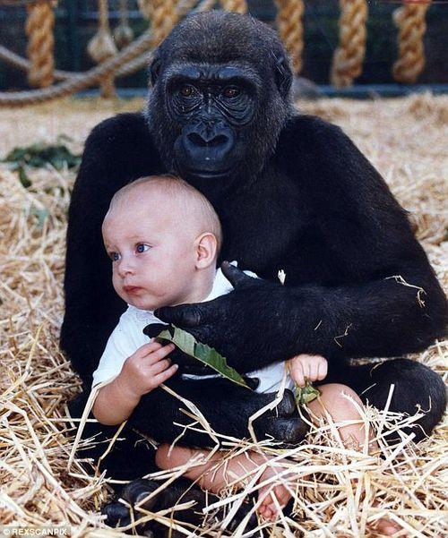 Cuộc hội ngộ xúc động của cô chủ nhỏ và chú khỉ đột sau 12 năm xa cách - Ảnh 1