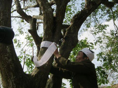 Giải mã phong tục 'chít khăn tang' cho cây ở làng ven đô  - Ảnh 1