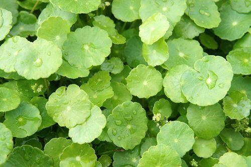 Công dụng và tác hại bất ngờ của rau má - Ảnh 1
