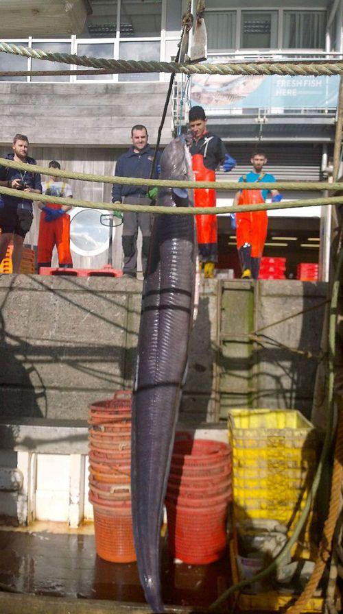 """Bắt được """"quái ngư"""" khổng lồ dài hơn 6m - Ảnh 1"""