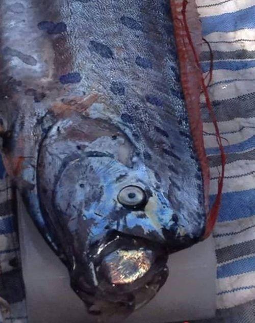 """Cá """"lạ"""" hình rồng trôi dạt vào bờ biển Thanh Hóa - Ảnh 1"""
