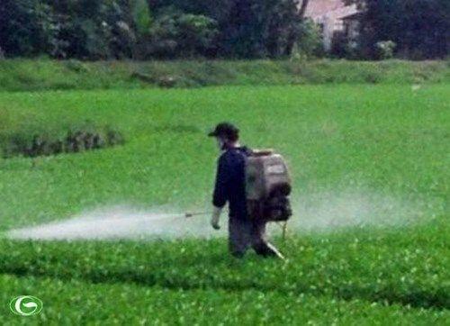 """Vạch trần quy trình trồng rau muống """"tắm"""" hóa chất - Ảnh 1"""