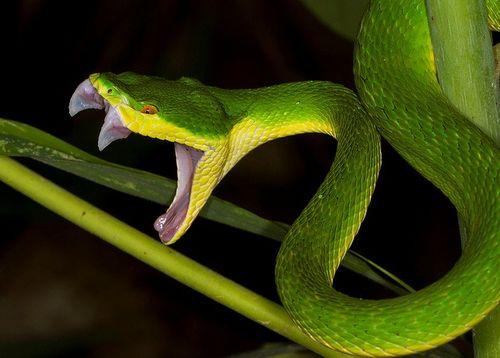 Cách sơ cứu khi bị rắn lục đuôi đỏ cắn mọi người cần biết - Ảnh 1