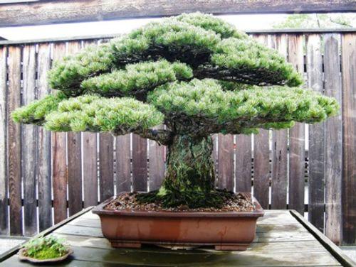 Ngất ngây trước những kiệt tác Bonsai nổi tiếng thế giới - Ảnh 3