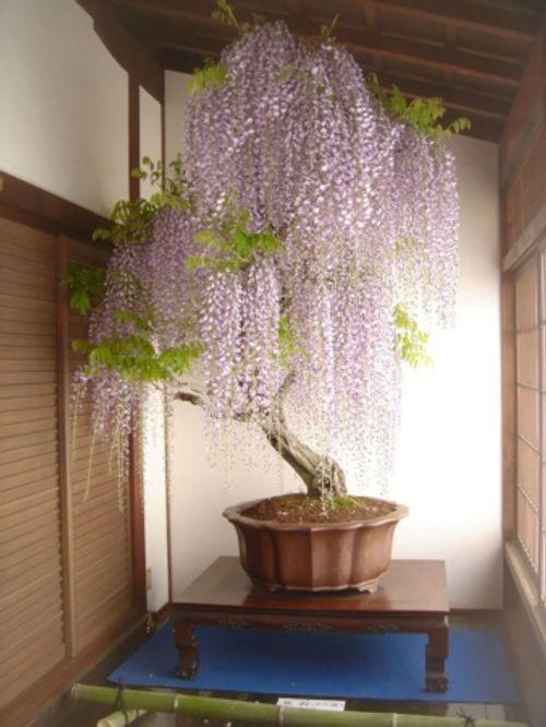 Ngất ngây trước những kiệt tác Bonsai nổi tiếng thế giới - Ảnh 4