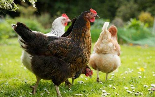 Hãy nhốt một con gà trong phòng ngủ nếu bạn muốn tránh xa bệnh sốt rét và vi-rút - Ảnh 1