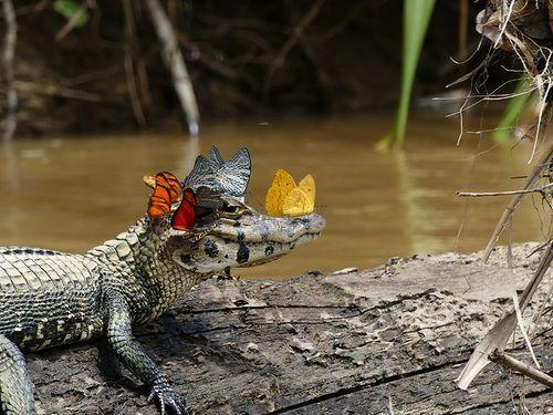 Bức ảnh cá sấu và đàn bướm đốn tim độc giả - Ảnh 1