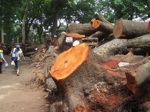 Ngổn ngang cây xanh phơi gốc trong công viên Bách Thảo - Ảnh 6