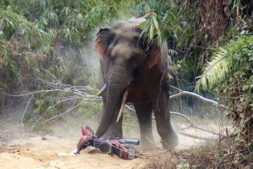 Sơn La: Voi rừng giết hại trâu bò, đe dọa tính mạng người dân - Ảnh 1