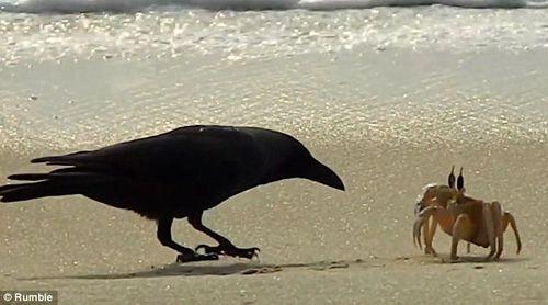 Vui nhộn cuộc chiến giữa quạ đói và cua biển - Ảnh 1