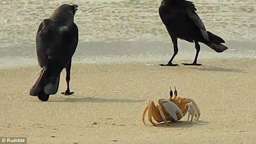 Vui nhộn cuộc chiến giữa quạ đói và cua biển - Ảnh 2
