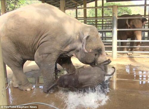 Thích thú xem clip voi con ngụp lặn trong chậu nước - Ảnh 2