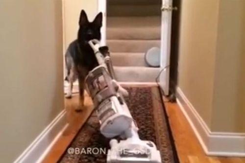 Choáng với chú chó có thể rửa bát, điều khiển máy hút bụi - Ảnh 1